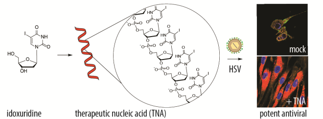 "advanced science publication: ""nucleic acids as a nature‐inspired scaffold  for macromolecular prodrugs of nucleoside analogues"""